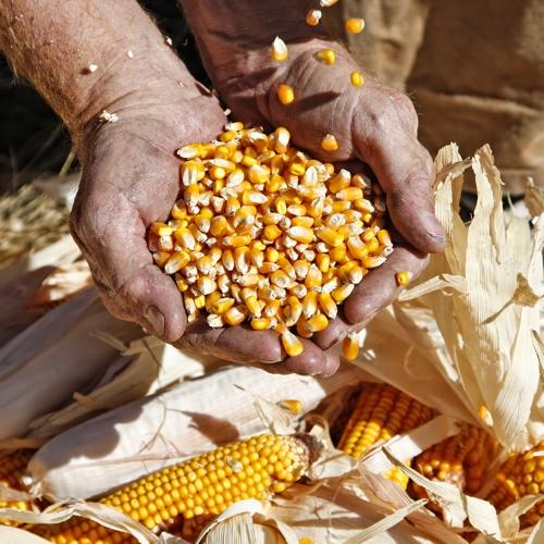 innovative vegetable fibres linum corn